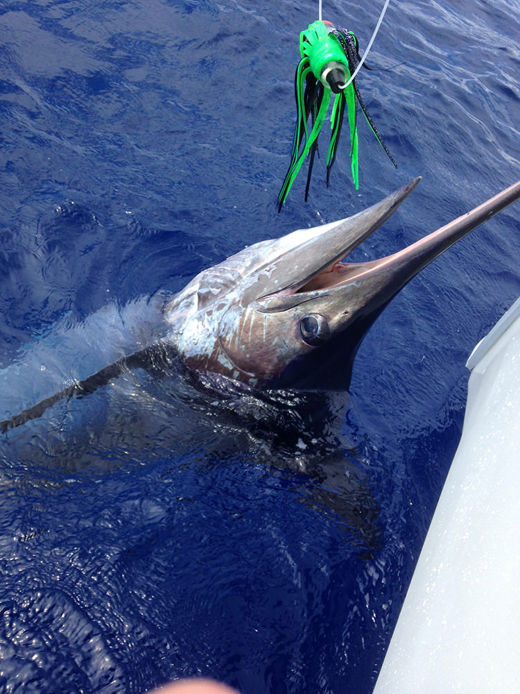 Frank-550lb-Atlantic-Blue-Marlin